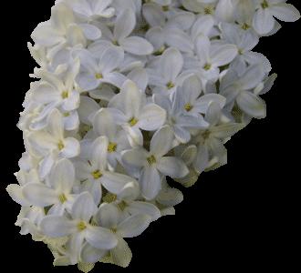 Цветок сирени